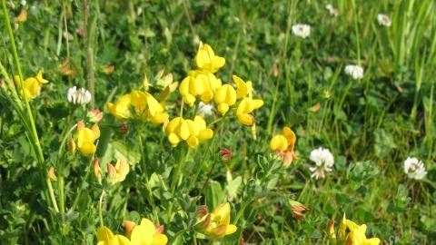 Birds Foot Trefoil Wild Flower