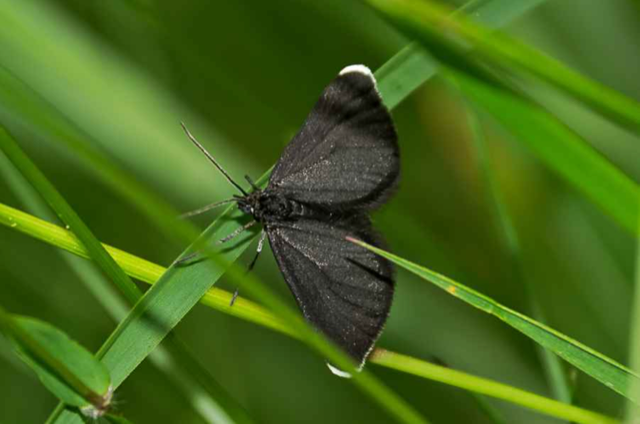 Chimney Sweeper Moth At Akeley