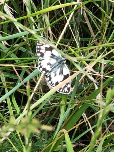 Marbled White At Akeley